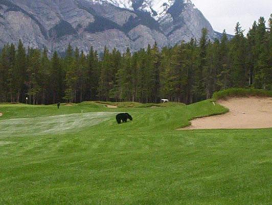 Big Bear Taxi >> Fairmont Banff Springs Golf Course - Wildlife on the Golf Course